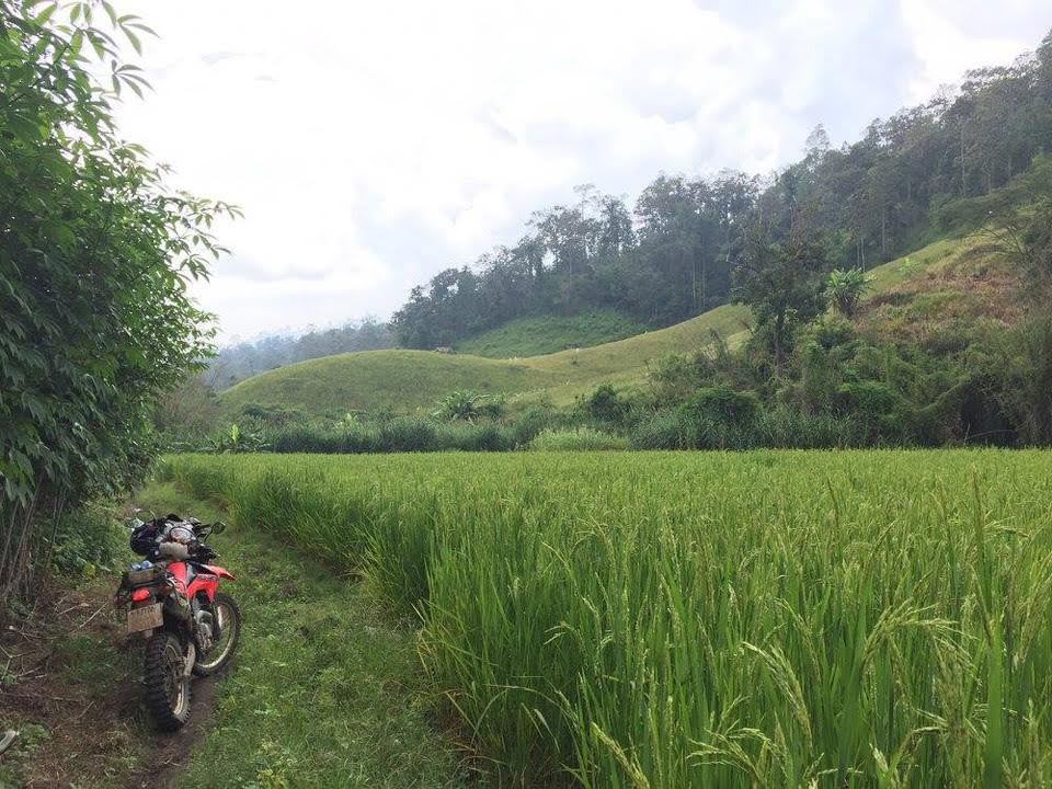 Lush, green rice paddy fields
